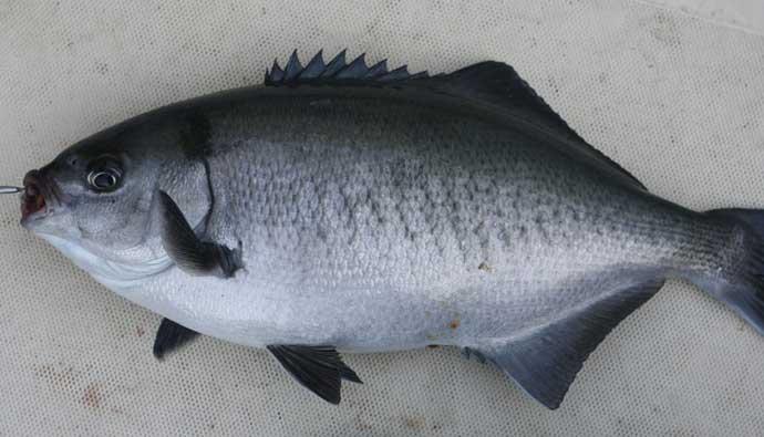 Halfmoon Catalina Blue Perch