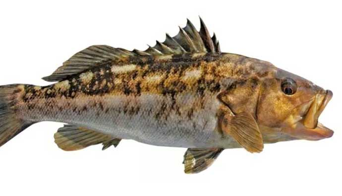 Kelp Bass Calico