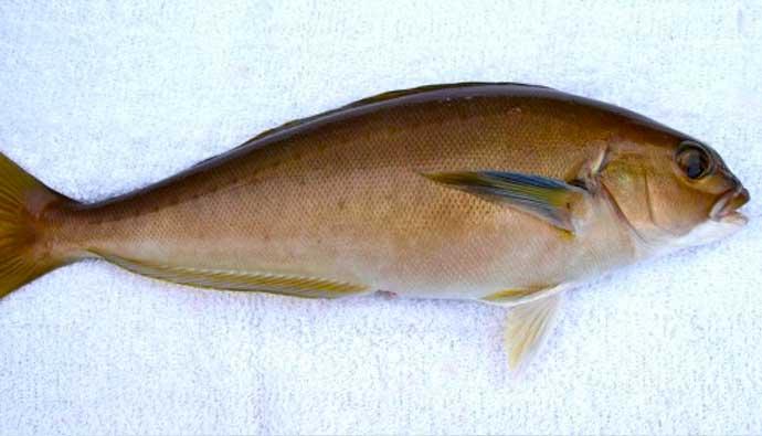 Ocean White Fish