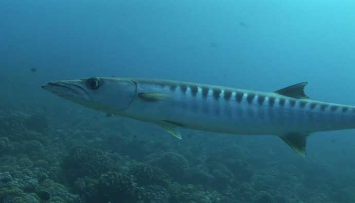 Pacific Barracuda