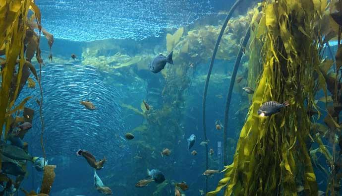 Dive Knife kelp