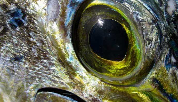 Dorado Fish Eye