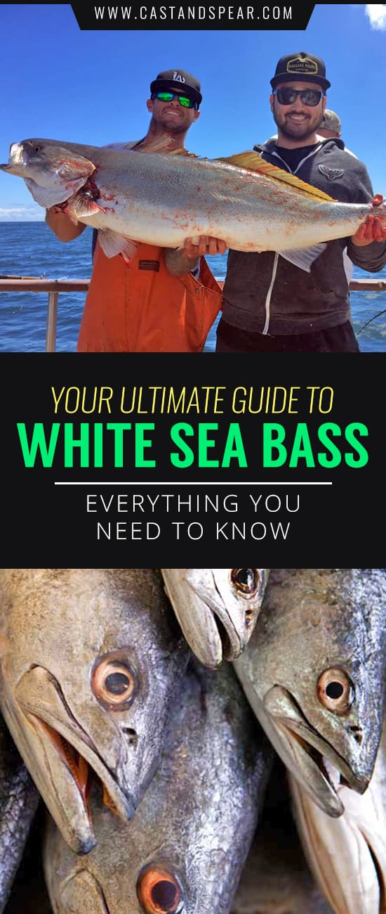 White Sea Bass are some of the best eating fish out there. This guide shows you how to catch them with a hook and line or if you're adventurous, even spearfishing. Check out this guide if you want to learn how to catch, clean, and cook white seabass.