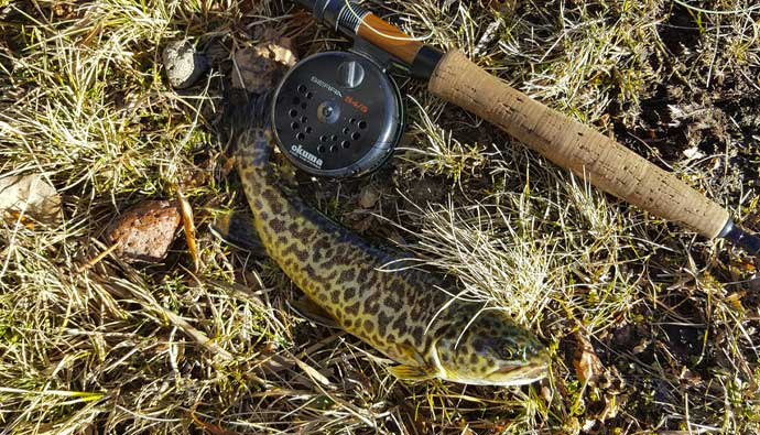 Fly fishing for tiger trout