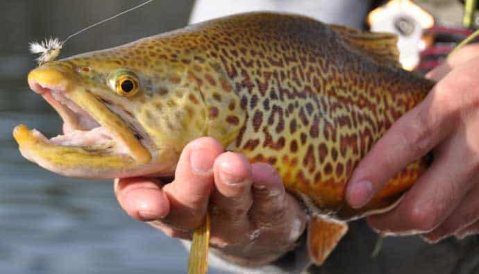 Man holding a tiger trout