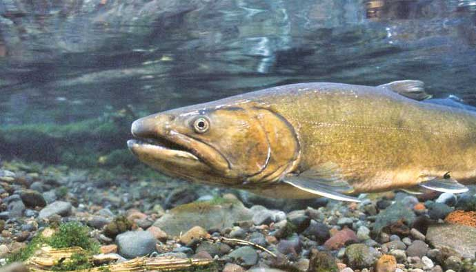 Bull trout close up