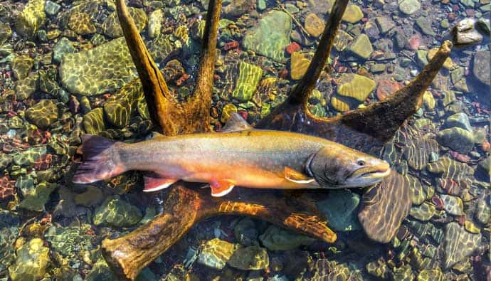 Bull trout on antler