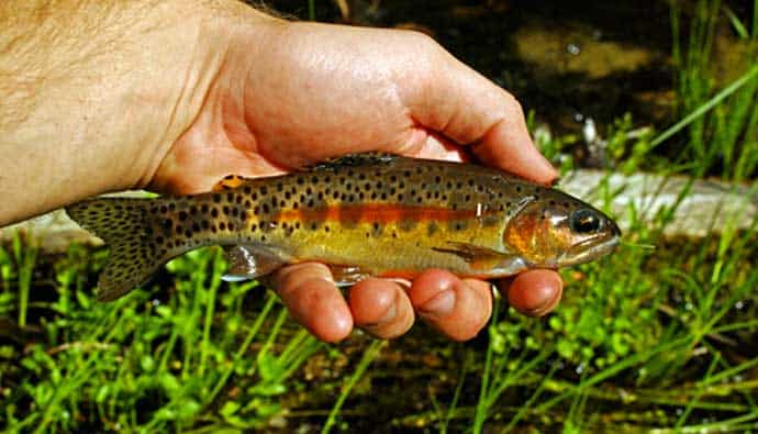 Young golden trout