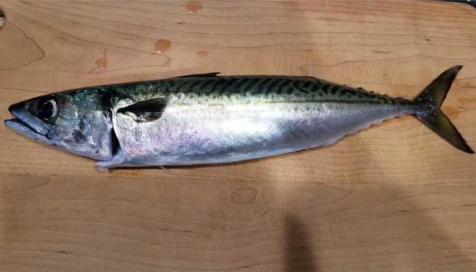 chub mackerel ready to cook