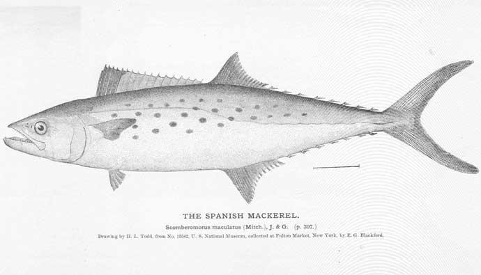 Spanish mackerel drawing