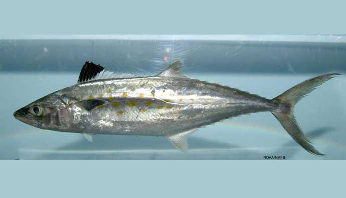 Spanish mackerel on display