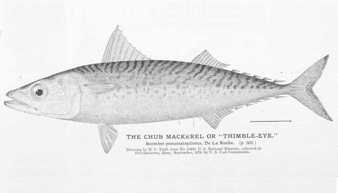 chub mackerel drawing