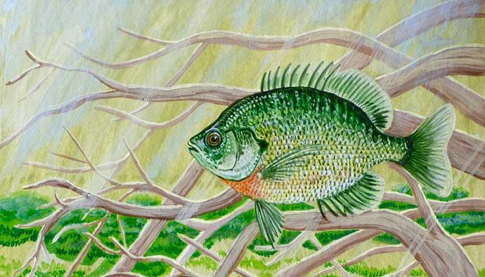 Bluegill Fishing Tips Art