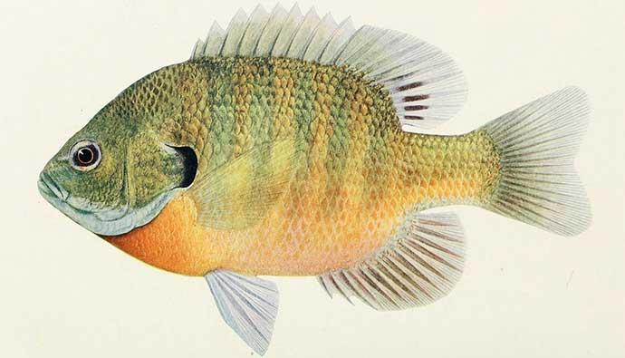 Bluegill Fishing Tips Book Art