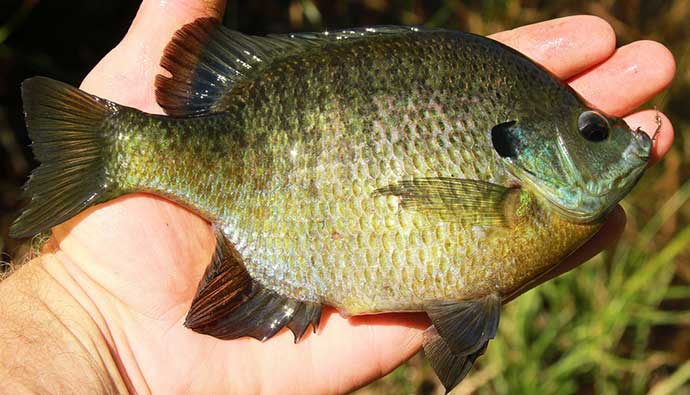 Bluegill Fishing Tips Caught