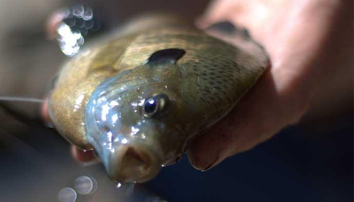 Bluegill Fishing Tips In hand