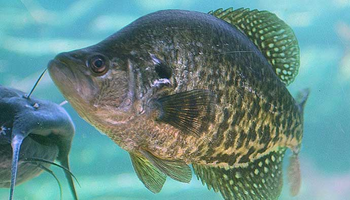 Crappie Fishing Tips with Catfish