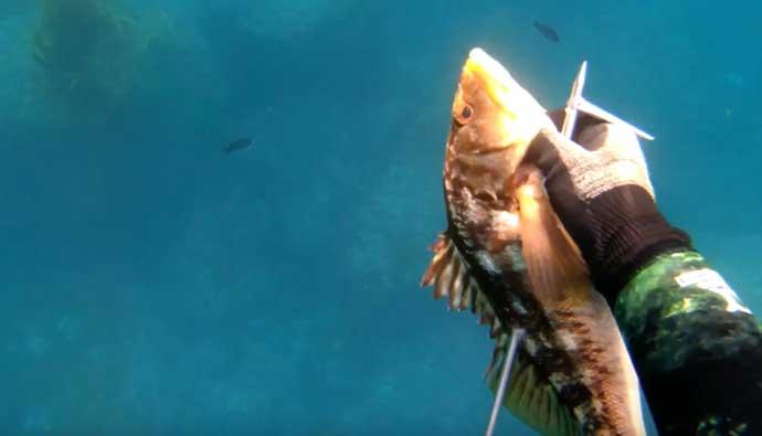 Gatku Pole Spear Kelp Bass