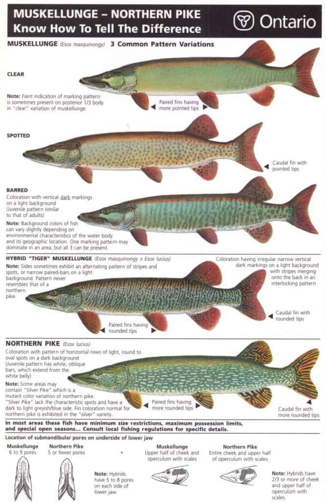 muskie and pike differences