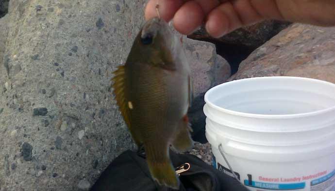 opaleye fishing tips