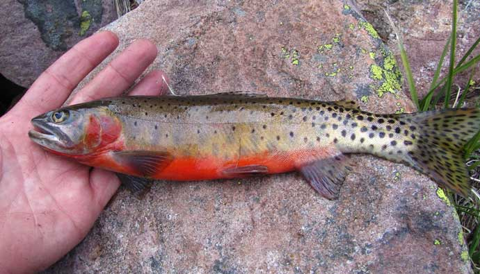 colorado cutthroat trout on a rock