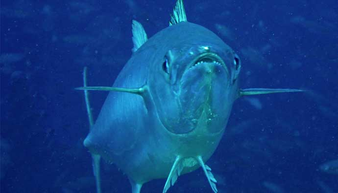 dogtooth tuna fishing tips teeth