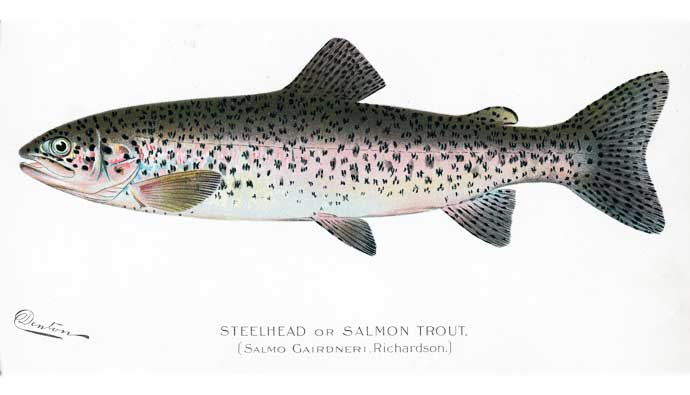 steelhead trout drawing