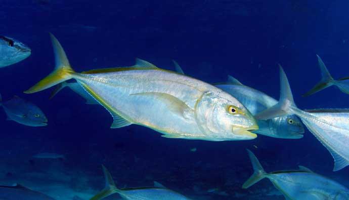 greater amberjack fish fishing tips