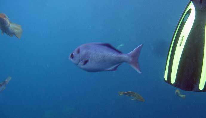 spearfishing halfmoons