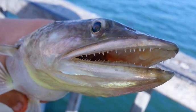 California Lizardfish Fishing Tips