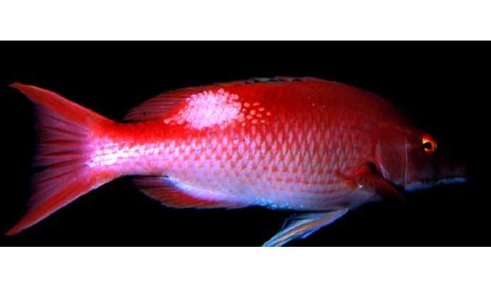 how to catch red pigfish