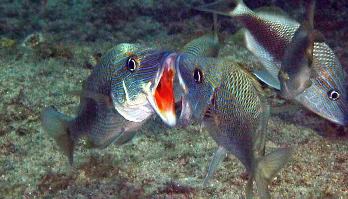 types of grunt fish white grunt