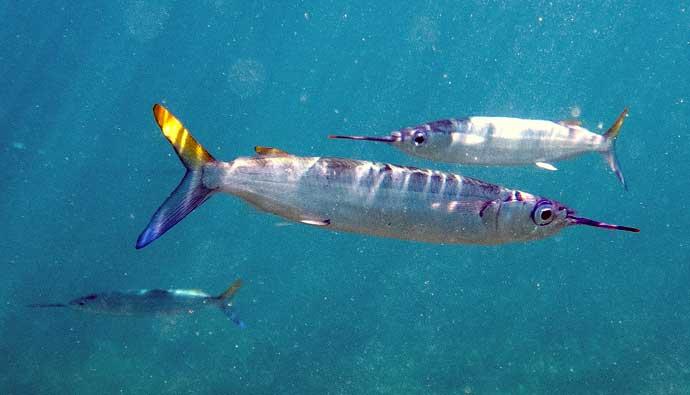 ballyhoo fish