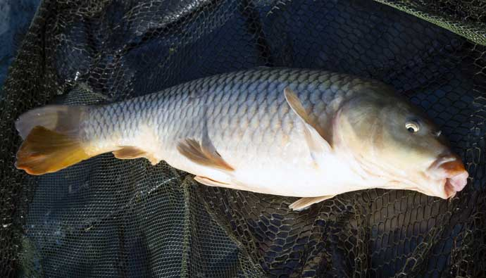 common carp fishing tips