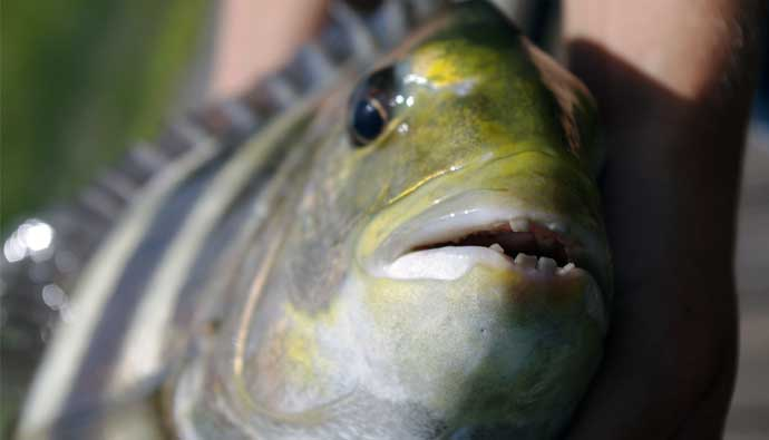 sheepshead fishing tips