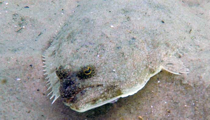 Summer Flounder in the sand