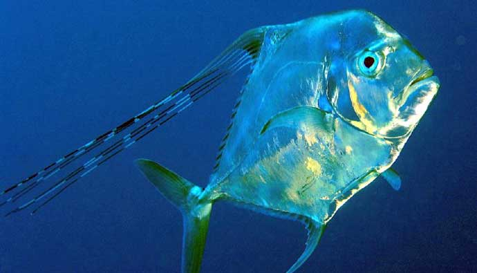 African Pompano fishing tips