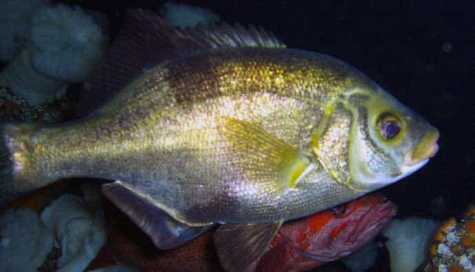 rubberlip seaperch fishing