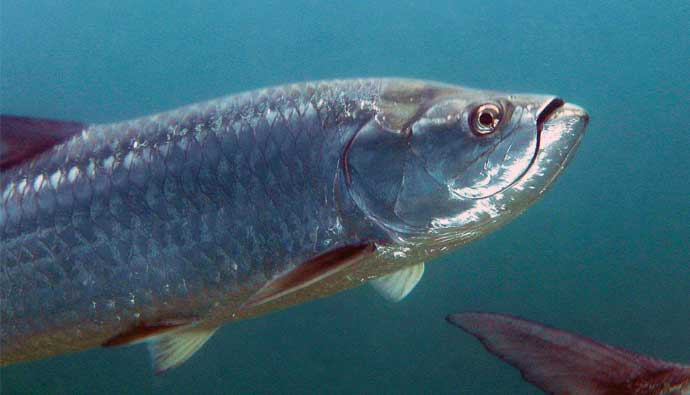 tarpon fish in the ocean