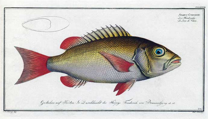 twinspot snapper drawing