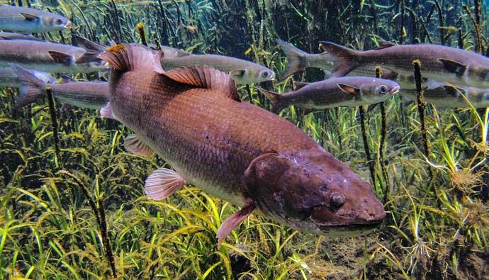 Mudfish swimming over grass