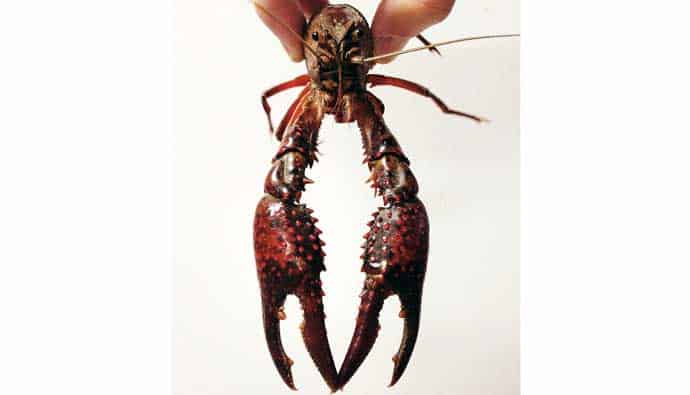 Crayfish trapping tips