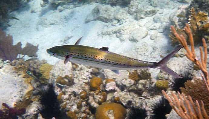cero swimming near reef