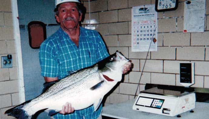 how to catch record size hybrid striped bass