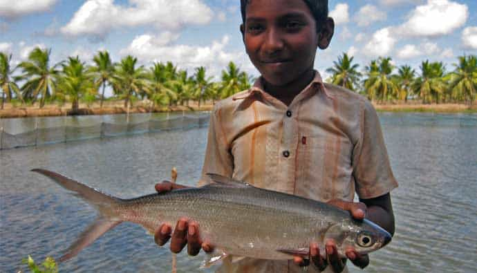 milkfish in india