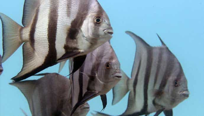 Spade fish love to school