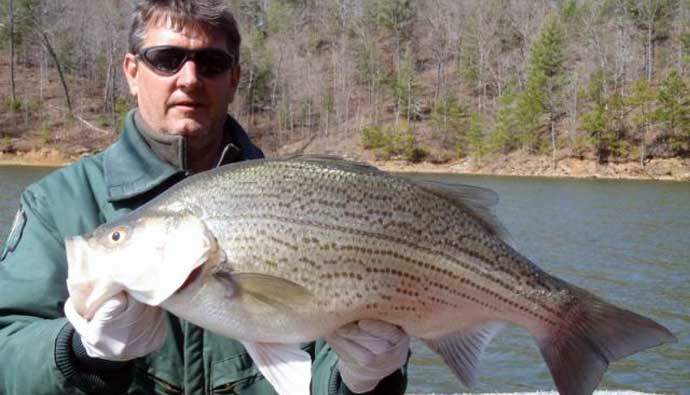 hybrid striped bass fishing tips