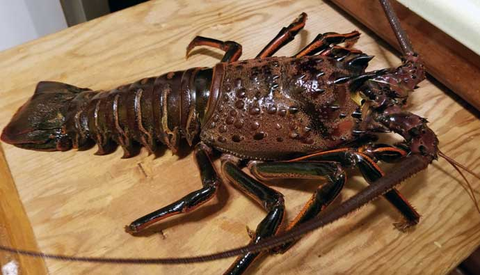 California spiny lobster ready to be cooked