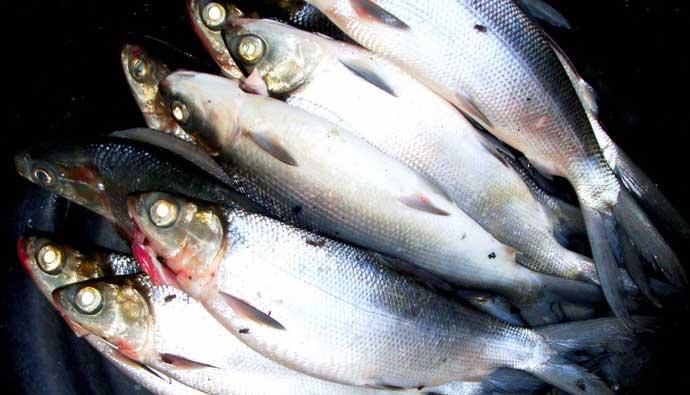 multiple milkfish bangus