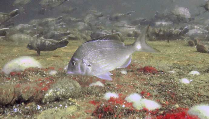 scup fish porgy swimming on structure